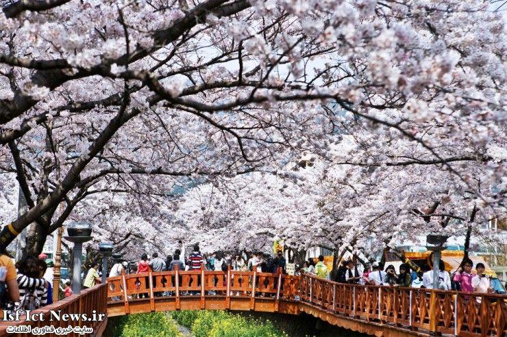 جشنواره شگفت انگیز شکوفه های گیلاس در شهر Changwon  کره جنوبی