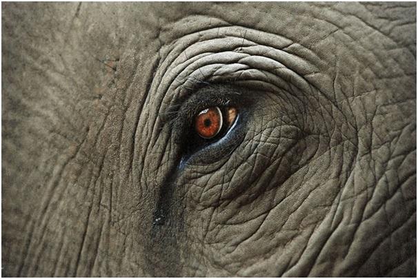 ماجرای مرگ فیل نر قوی